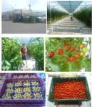 Sera de tomate